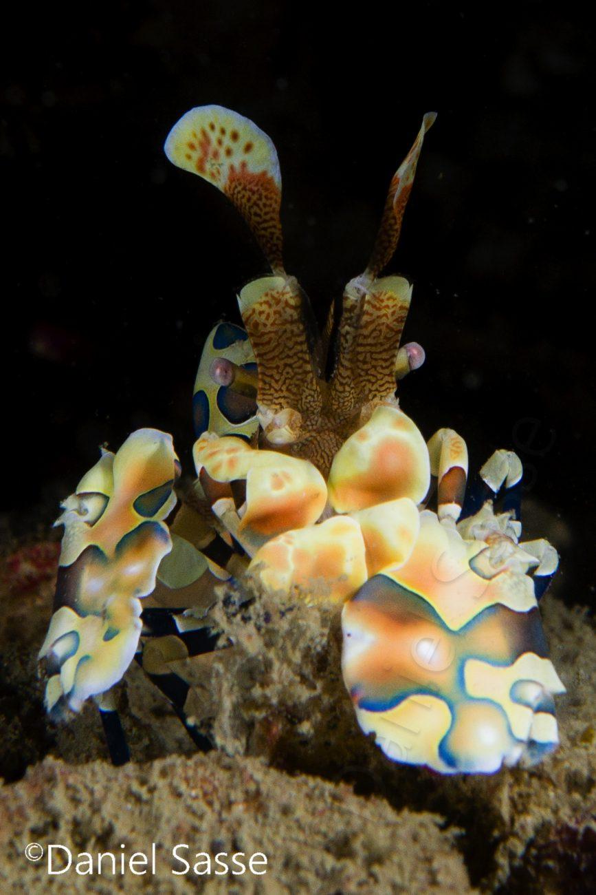Harlequin Shrimp Portrait