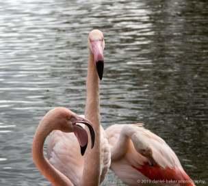 Flamingos at Birdland October 2019