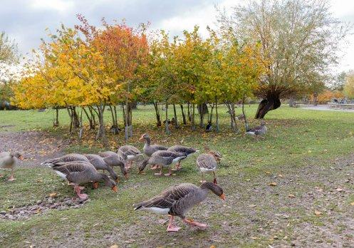 Geese under a tree at WWT Slimbridge