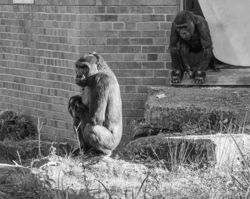 Black and White image of Gorillas at Bristol Zoo