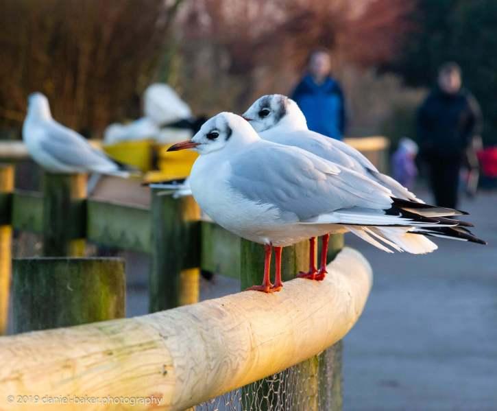 Close up of gulls at WWT Slimbridge
