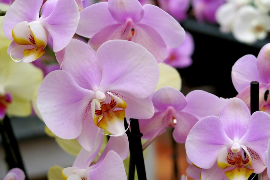 orquideas, Little Venice, Londres