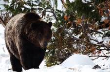 Bear_British Columbia