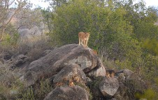 Lioness with cubs_db
