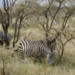 Zebra snacking