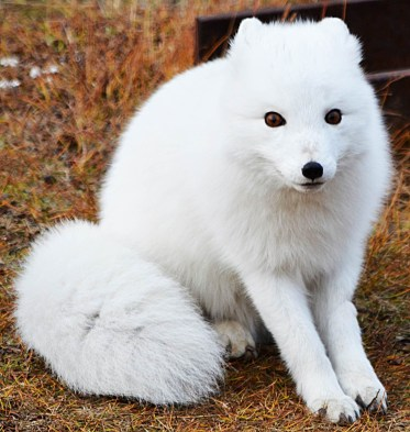 arctic fox looking for scraps
