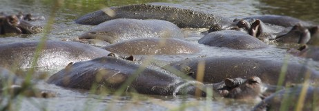how many hippo's can you fit per square metre?_db