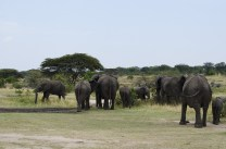 just couldn't get enough recording those wonderful elephant herds!_db