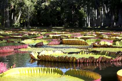 lily pads 3 - botanical gardens_Mauritius.mp3