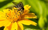 Mosca abelha