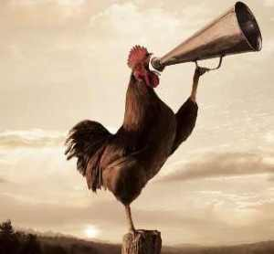 rooster-crowing-2