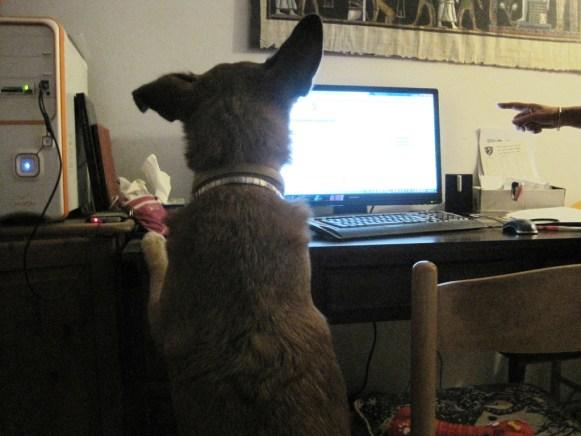 Dog at computer - photo