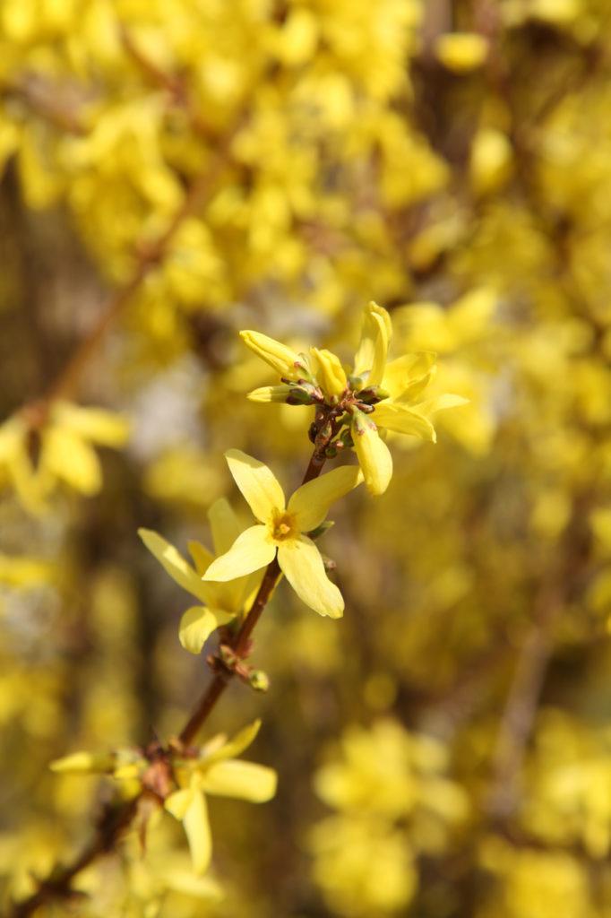 Duft-Reisende – Strahlend gelb blühende Forsythie in Heppenheim