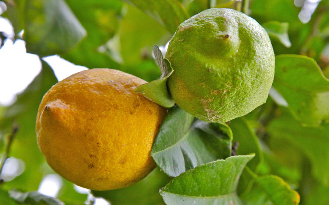 Duft-Reisende – Zitrusfrüchte- Zitrone gelb und grün