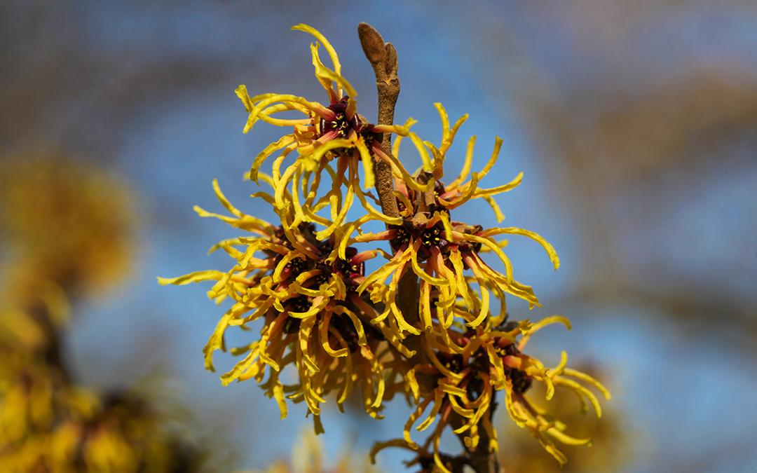 Zauberhafte Hamamelis-Blüten im Winter und ein wunderbares Hydrolat