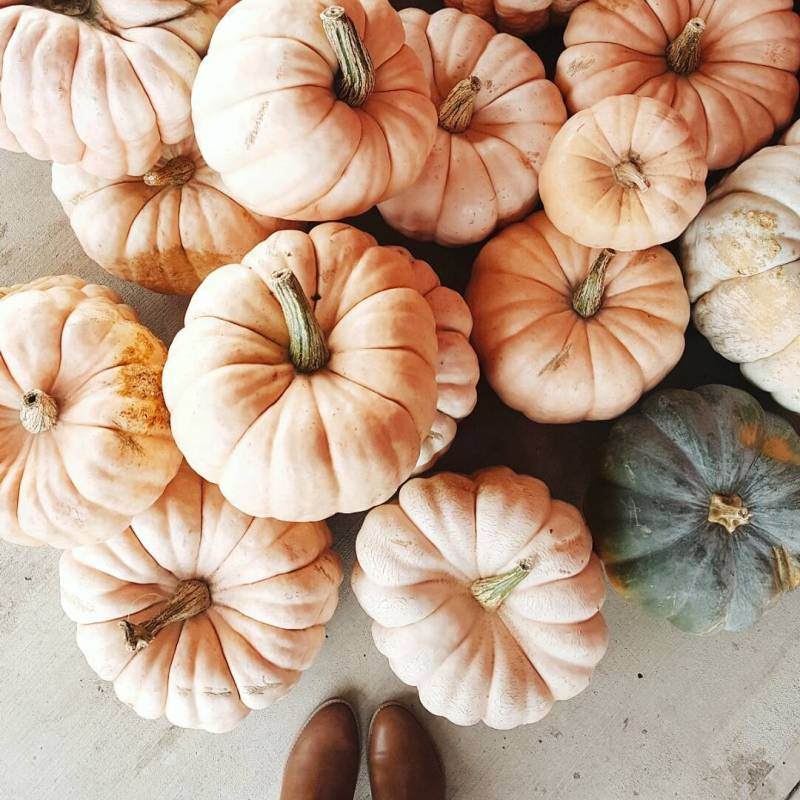 fall cinderella pumpkins