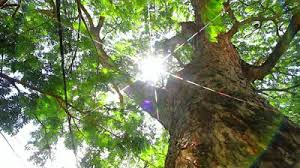 sun between the branches pic