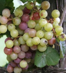 muscadine-grape