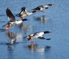 Mergansers take-off at St. Malo, MB