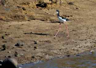 The Hawaiian stilt (Kukuluae'o).