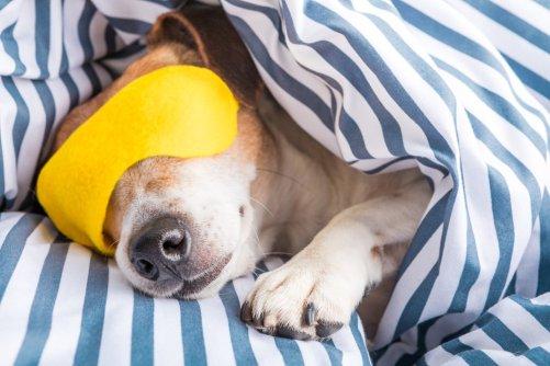napping doggo