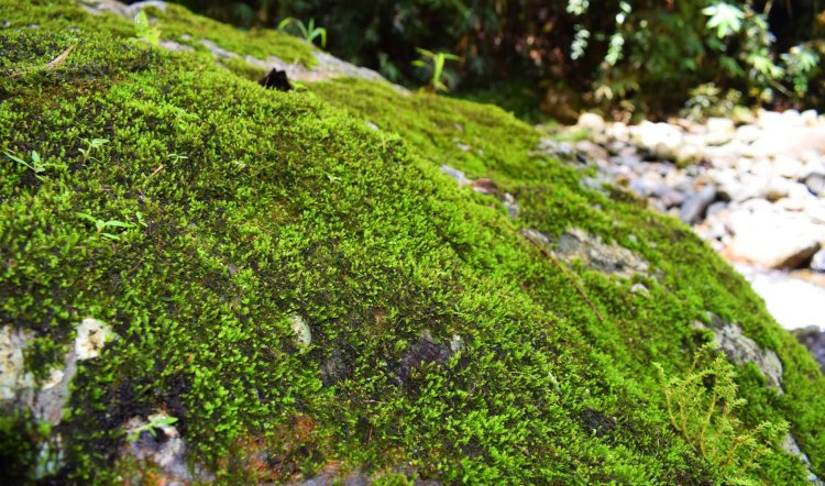 Moss-covered stones along the way to Shamsham Falls.