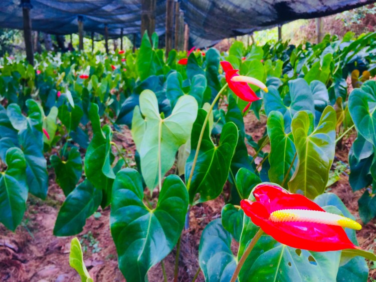 Flower farm at Winaca Eco Cultural Village