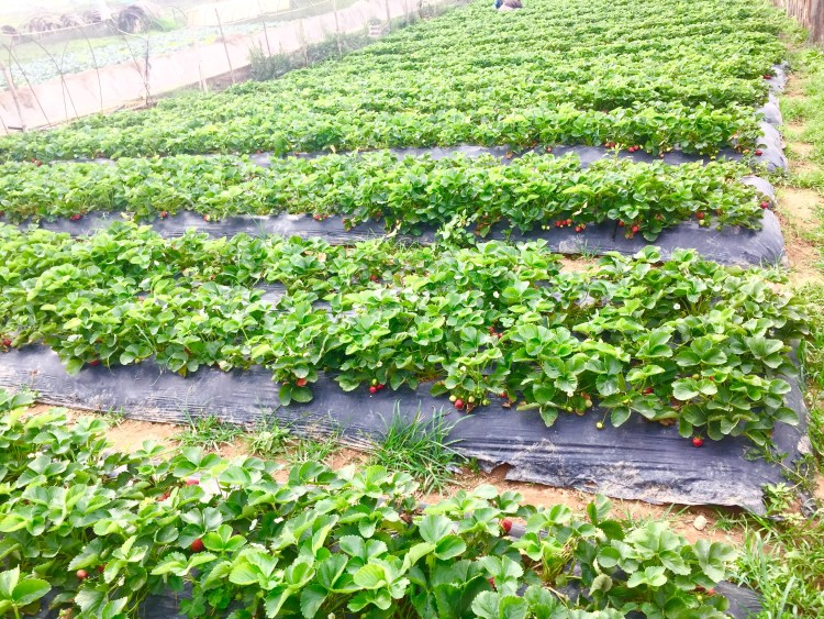Look at those red strawberries at A signage near La Trinidad Strawberry Farm