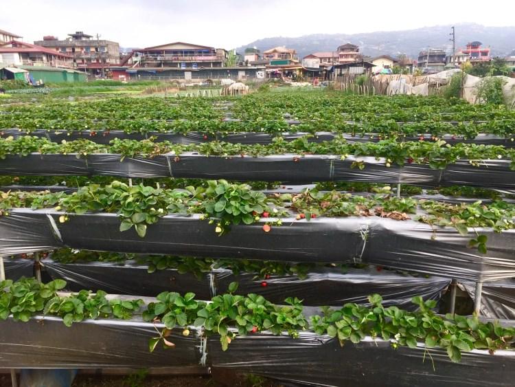 Strawberries at La Trinidad Strawberry Farm