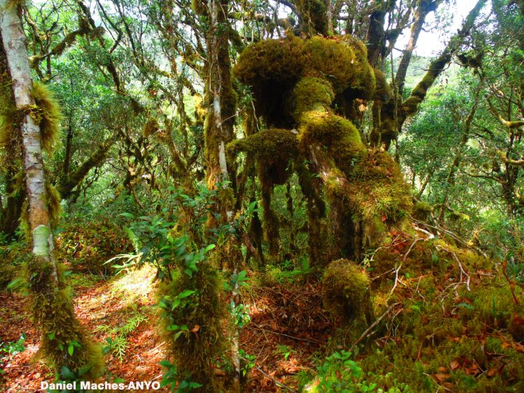 Trees covered in thick moss in Sayang Mossy Forest
