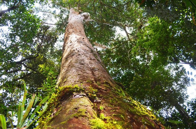 Changsuy Almaciga Forest is one of the threatened forests in the Philippines