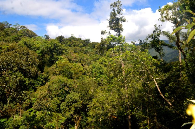 The forest is right on the path of the Barlig Road Project