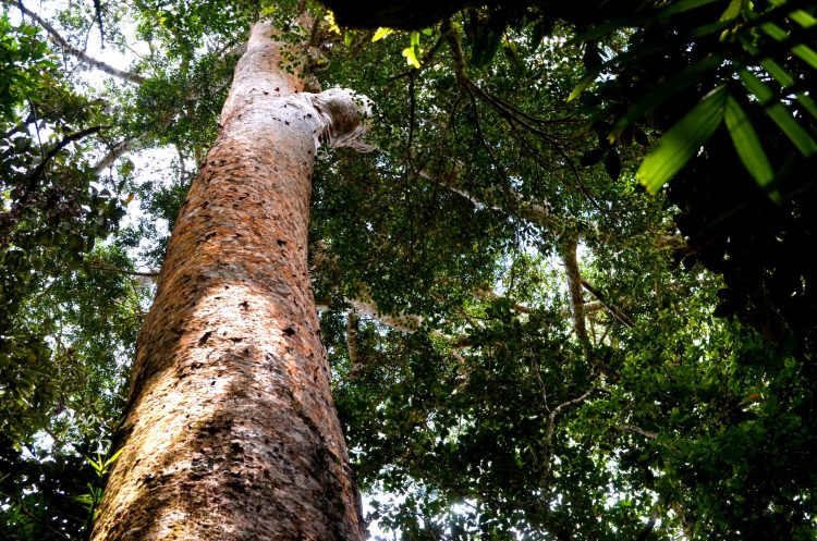 The Barlig road project threatens this giant tree species