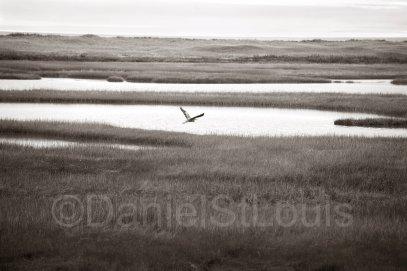 Heron on the Marsh