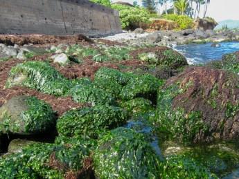 Ulva and Hypnea cover rocks at Kuau Bay