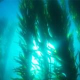 Sea kelp - yodo y omega 3 para veganos