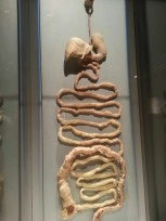 Intestines - Digestive Processes