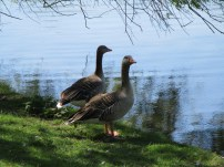 Copenhagen ducks in Fælledparken
