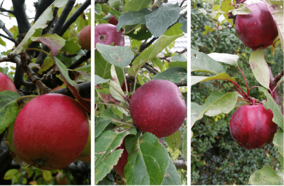 Cox Orange, Ingrid Marie og Malus Redlove 'Circe'