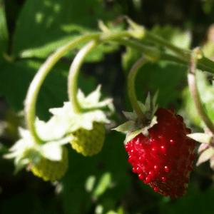 Jordbærcoulis - jordbær sovs