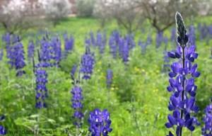 3036 פרחים ועצים, עמק יזרעאל, ישראל