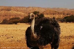 תמונות יפות למכירה צילום בעלי חיים, הערבה, ישראל 5255