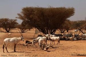 תמונות יפות למכירה צילום בעלי חיים, הערבה, ישראל 5258