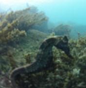 A seahorse