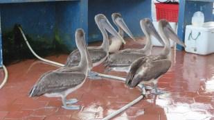 Pelicans waiting