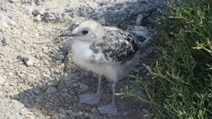 Brand new blue footed boobie