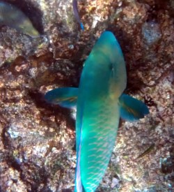 Blue fin parrot fish, one of our favorites, but they are hard to photograph