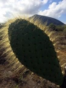 Cactus leaf. (Photo by John Boles)