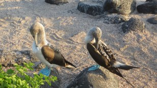 Male and female blue footed booby pretending not to look at each other