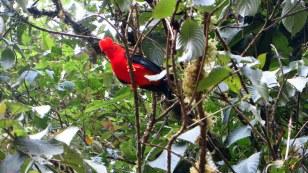 Pretty bird! Manu Reserve